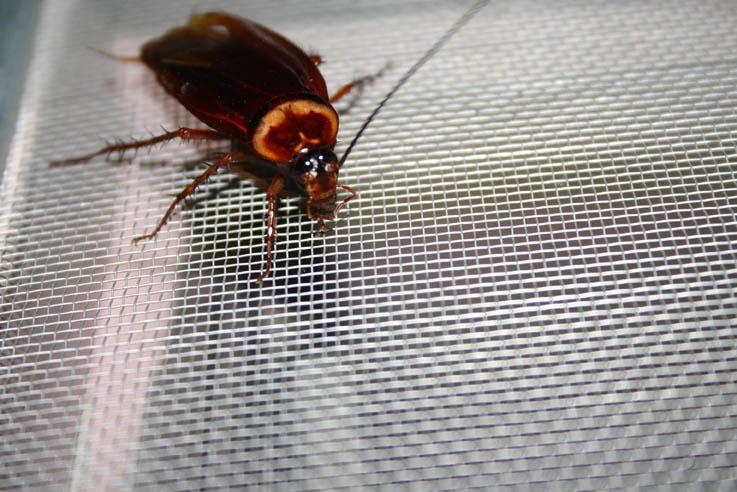 dedetizacao-barata-1 As baratas realmente sobreviveriam a um ataque nuclear? Curiosidades
