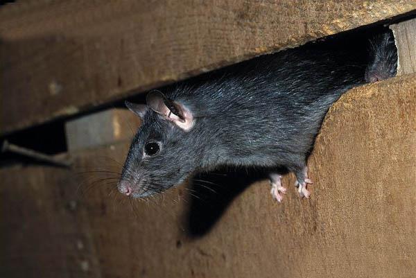 dedetizacao-rato-5 Preciso sair da minha casa durante a desratização? Desratização Perguntas ao Especialista