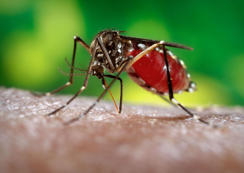 aedesegyptihighres 69% dos casos de dengue no Brasil foram mal tratados Notícias Prevenções