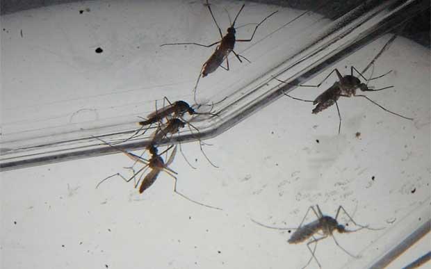 dengue Um único mosquito pode transmitir tipos diferentes de dengue Notícias