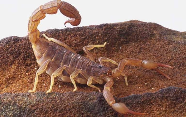 escorpiao Menino morre por picada de escorpião em Minas Gerais Notícias Prevenções