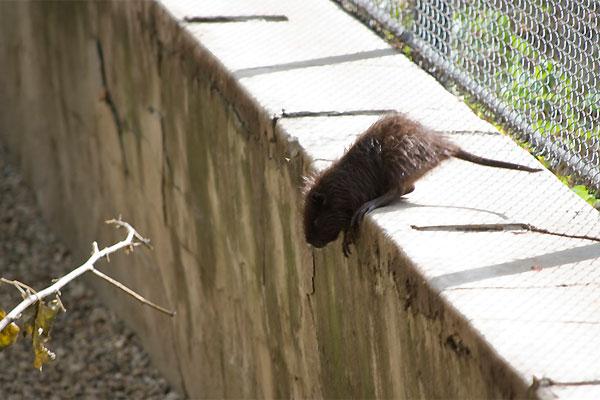 rato Chuvas de verão aumentam os riscos de doenças Dedetização Desratização