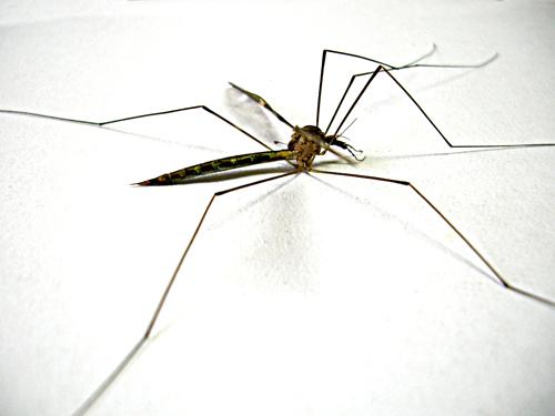Ministerio_da_saude_quer_ampliar_centros_para_isolar_dengue Ministério da saúde quer ampliar centros para isolar dengue Pragas