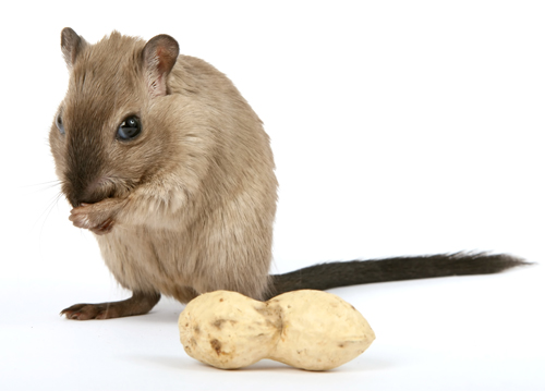 Chumbinho_nao_e_eficiente_para_matar_ratos Chumbinho não é eficiente para matar ratos Desratização