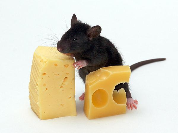 cuidados_infestacao_ratos Cuidados no inverno evitam a infestação de ratos Desratização