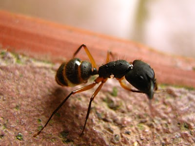 formigas-pragas Pragas Urbanas: formigas e baratas, irmãs em se tratando de sujeira Dedetização