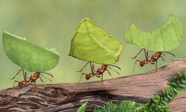 """como_funcionam_formigas Como """"funcionam"""" as formigas? Curiosidades"""