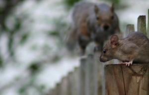 invasao-ratos-belo-horizonte-insetan-300x193 Bióloga da Insetan alerta sobre a invasão de ratos na capital