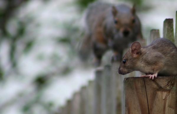 invasao-ratos-belo-horizonte-insetan Bióloga especialista alerta sobre a invasão de ratos na capital Perguntas ao Especialista