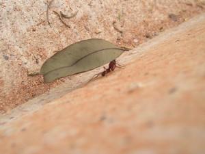 formigas-sao-um-perigo-a-saude-publica-300x225 Formigas são um perigo à saúde pública