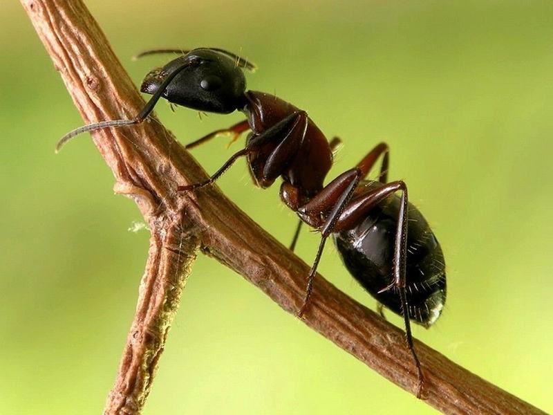 formiga Por que no verão aparecem mais insetos? Curiosidades