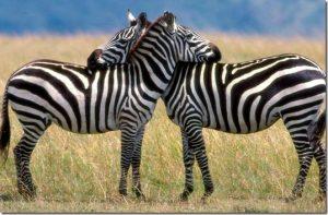 listras-zebras-insetos-300x197 listras de zebras evitam insetos