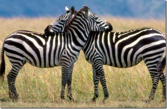 listras-zebras-insetos Listras das zebras evitam picadas de insetos Curiosidades