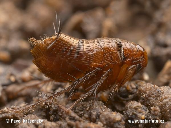 dedetizar-pulga Como eliminar as pulgas da sua casa   Dedetização