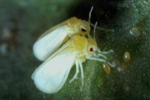 moscabranca Conheça cinco insetos muito perigosos Curiosidades