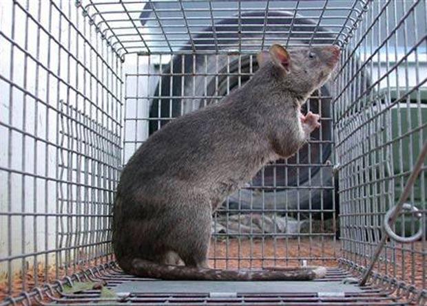 rato-gigante-florida Invasão de ratos gigantes assusta moradores na Flórida Notícias