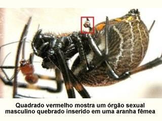 aranha_nocredit Aranhas macho se castram para elevar chance de paternidade Notícias