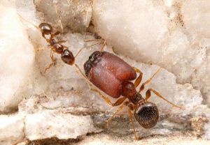 article-0-0F59237D00000578-780_634x4381-300x208 'Supersoldier' ants created