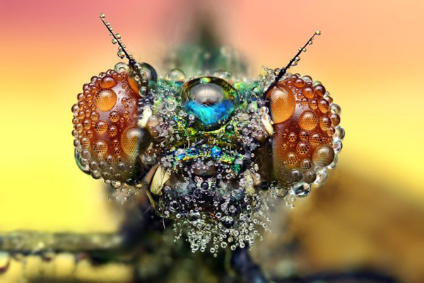 inseto-orvalho-4-insetan Fotografias de inseto por Miroslaw Swietek Curiosidades