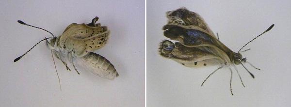 borboleta-mutante Borboletas mutantes são encontradas na região de Fukushima  Perguntas ao Especialista