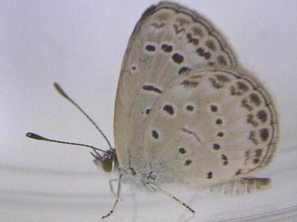 borboleta-saudavel Borboletas mutantes são encontradas na região de Fukushima  Perguntas ao Especialista