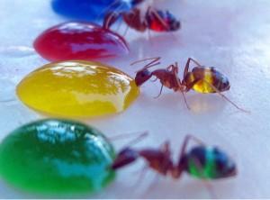 cor-formigas-300x222 formigas coloridas