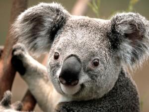 Koala-300x225 Koala
