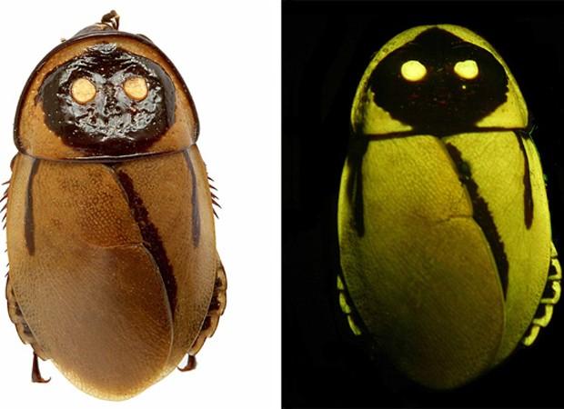 barata-que-brilha1 Barata que brilha no escuro é descoberta na América do Sul Curiosidades