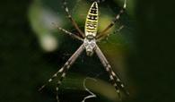 image002-3 Aranhas 'decoram' teias para fisgar mais presas Notícias