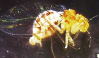 image002 Pesquisador brasileiro descobre inseto que muda de sexo Notícias