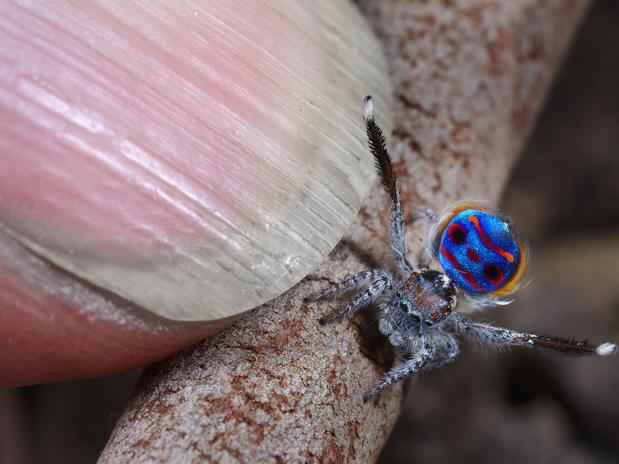 aranha_pavao_dedo As belas cores da Aranha-pavão Curiosidades Fotografia