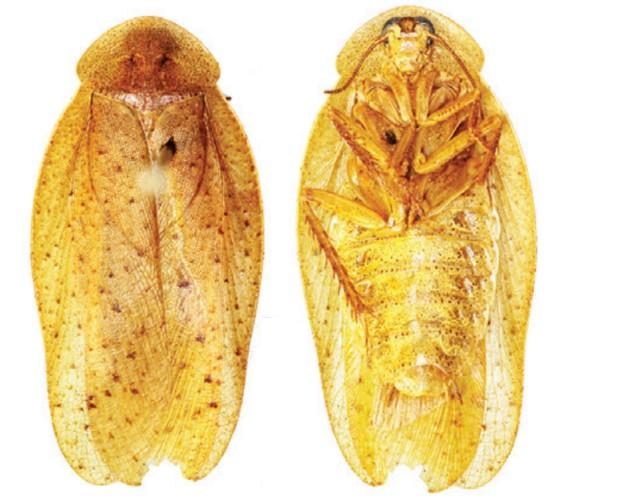barata2 Cientistas descobrem três novas espécies de baratas na China Curiosidades Notícias Pragas