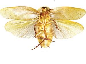 barata3 Cientistas descobrem três novas espécies de baratas na China Curiosidades Notícias Pragas