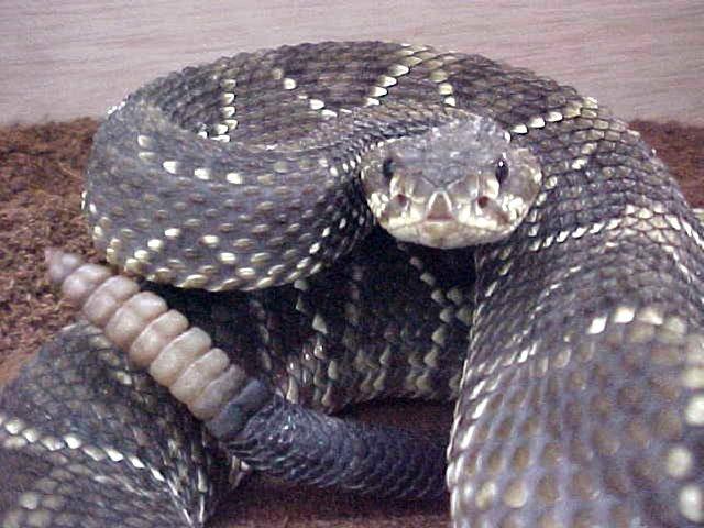 cascavel Pergunte ao Especialista: O que fazer com as cobras cascavéis que invadiram meu sítio? Perguntas ao Especialista