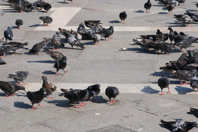 pombos Pergunte ao Especialista: Como esterilizar roupas contaminadas por fezes de pombo? Perguntas ao Especialista