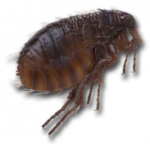pulga-300x287 Pergunte ao Especialista: Meu gramado está infestado de pulgas. Como combatê-las? Dicas Perguntas ao Especialista
