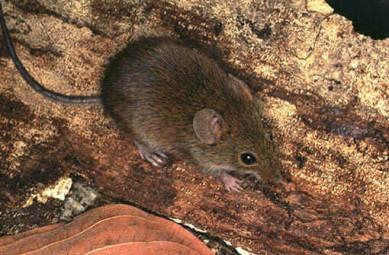 Bolomys-lasiurus Devemos fazer controle de pragas em áreas rurais? Curiosidades Desratização Pragas Prevenções