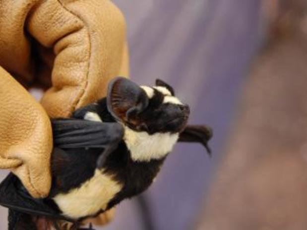 morcego_panda Nova espécie de morcego é descoberta na África Curiosidades Notícias