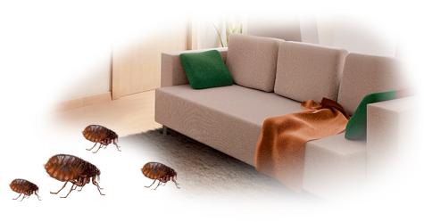pulgas_casa Pergunte ao Especialista: Por que meu apartamento está cheio de pulgas se não tenho animais em casa? Perguntas ao Especialista