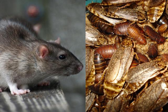 rato_baratas Pergunte ao Especialista: Como acabar com os ratos e baratas que vêm do imóvel vizinho? Perguntas ao Especialista