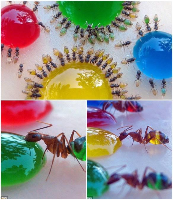 formigas_estomago_transparente A formiga fantasma Curiosidades Papo de Praga