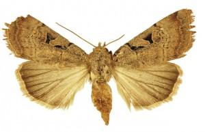 mariposa_anagnorisma_-chamrani_femea-300x193 mariposa_anagnorisma_ chamrani_femea