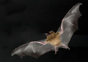 morcego-300x213 morcego
