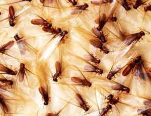 cupins_com_asas Começa a temporada de revoada de cupins Descupinização Dicas Notícias Prevenções
