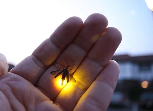 vaga-lume_asas Como os vaga-lumes acendem suas luzes? Curiosidades