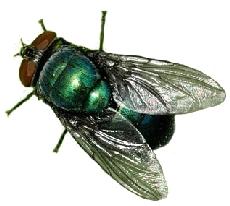 mosca_varejeira Estudo de insetos ajuda a desvendar crimes Papo de Praga