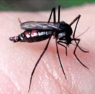 febre_amarela_Haemagogus Você sabe a diferença entre dengue, febre amarela e malária? Curiosidades