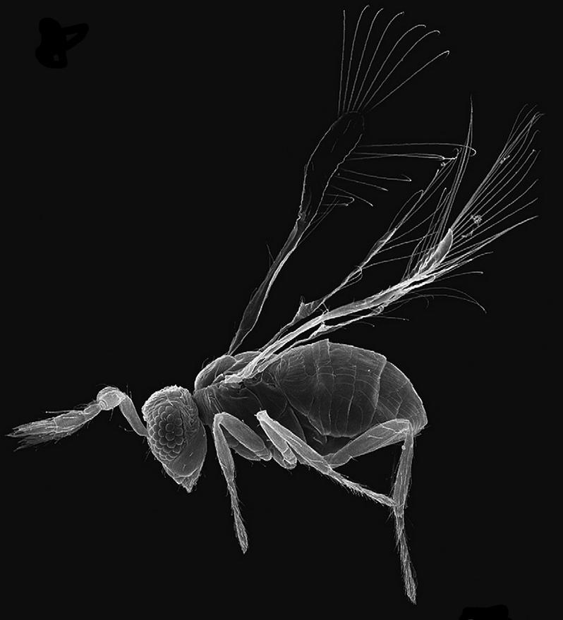 megaphragma_mymaripenne O cérebro dos insetos Curiosidades