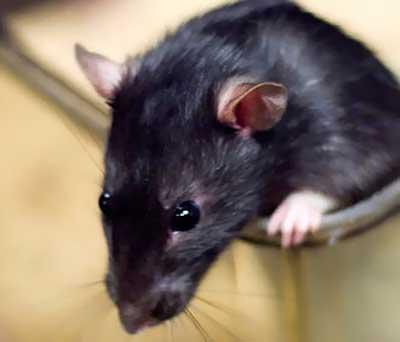 rato-preto-pequeno Pergunte ao Especialista: Um rato caiu e morreu dentro da minha máquina de lavar. O que devo fazer? Perguntas ao Especialista