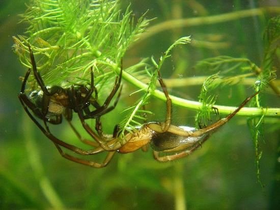 aranha-de-agua Espécies de aranhas surpreendem pela peculiaridade Curiosidades